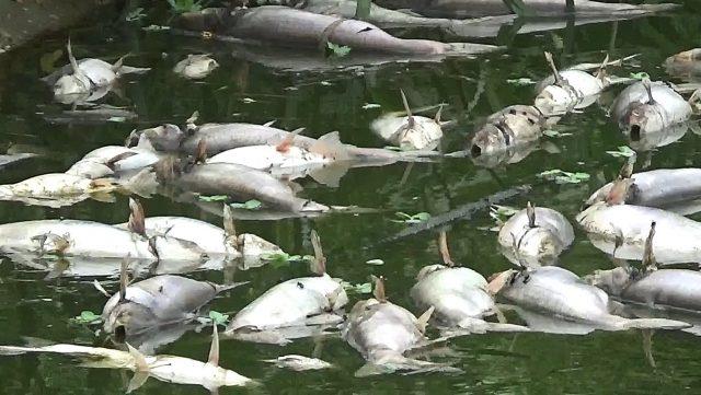 Ratusan Ikan Patin Atur Mati Mendadak