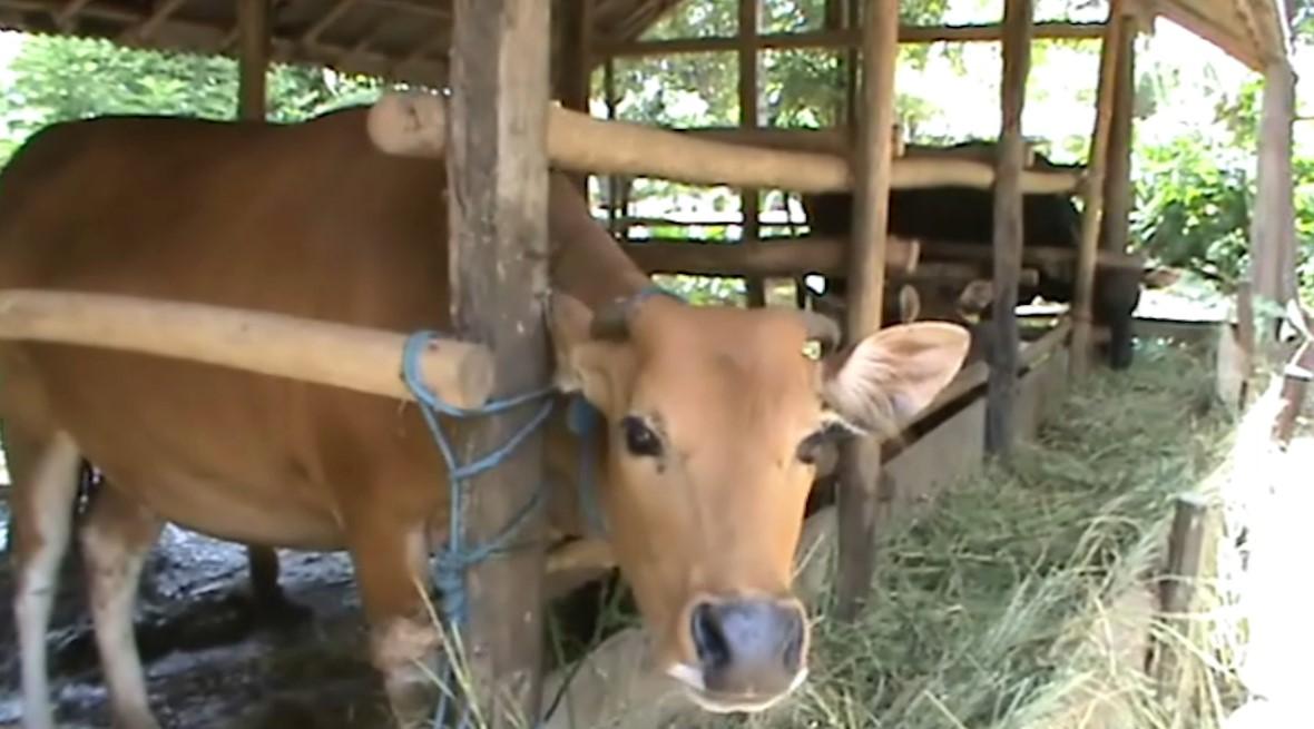 Populasi Ternak Sapi di Tala Bertambah 18.000 Ekor Lebih