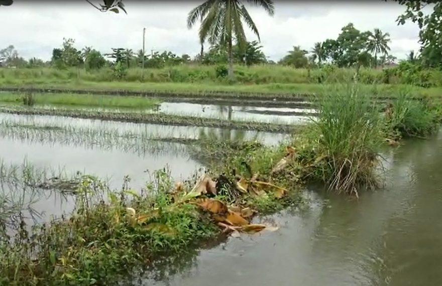 Puluhan Hektar Lahan Pertanian Terendam Banjir