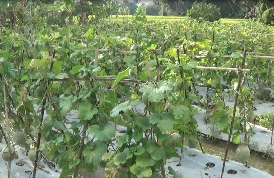 Lahan Perkebunan Melon