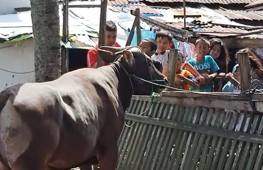 anak-anak senang melihat sapi kurban