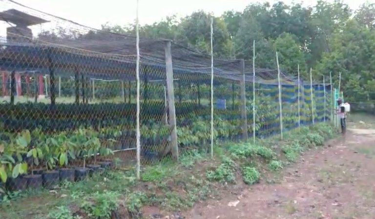 bibit tanaman durian