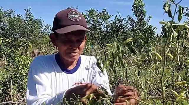 Abdul Khalik, petani cabai