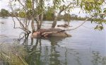 23 Ekor Kerbau Rawa Mati Akibat Terjebak Banjir