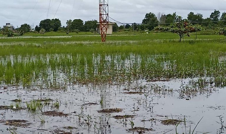 Petani di Sungai Tabuk Prediksi Panen Akan Tertunda