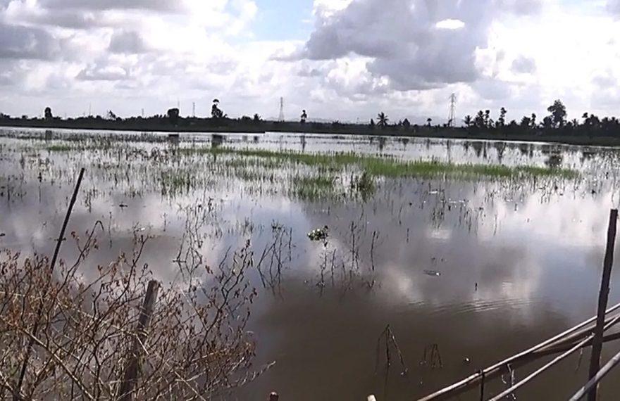 sawah terancam gagal panen karena tergenang banjir