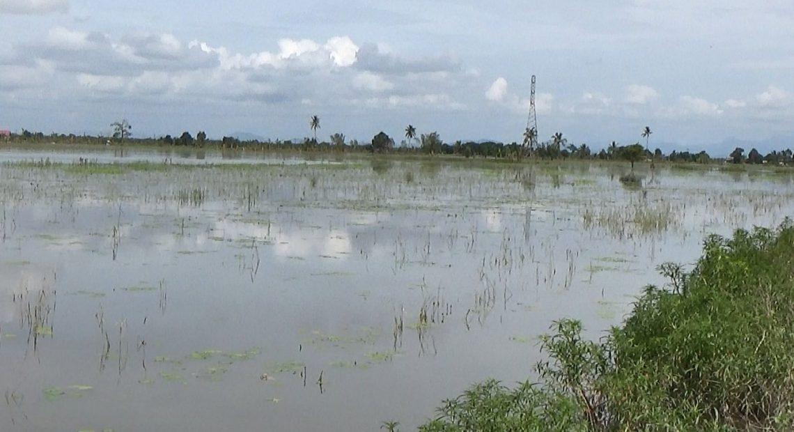 lahan sawah masih terendam (foto:duta tv)
