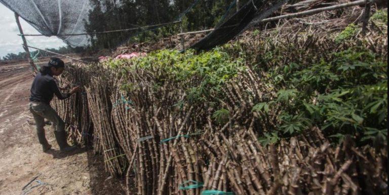 Singkong Siap Hijaukan Food Estate